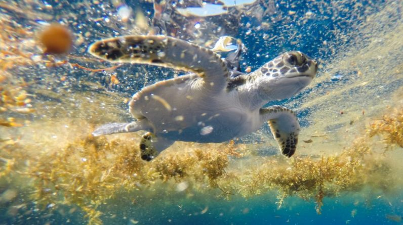 Naukowcy odkrywają plac zabaw spokojnych żółwi na Morzu Sargassowym