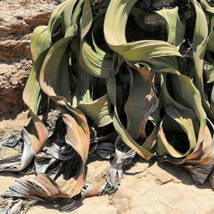 Roślina, która nigdy nie umiera, ujawnia swoje genetyczne sekrety