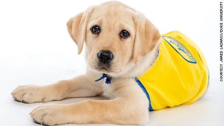 Poznaj Wisdom, członka przedszkola Spring 2020 Puppy Kindergarten na Duke University.