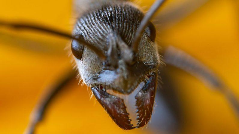 Naukowcy odkrywają sekrety superpotężnych zębów mrówek