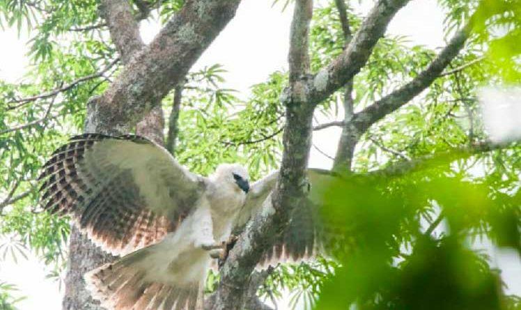 Ekwador i Hiszpania współpracują w celu ochrony orła harfy - Prensa Latina