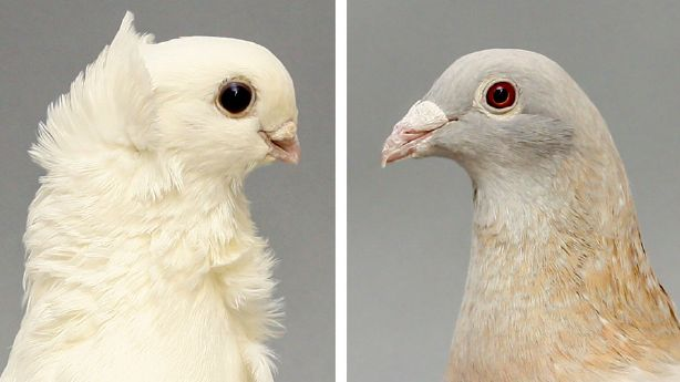 An image of an Old German Owl, left, and Racing Homer, right. The two domestic pigeon species were the the grandparents of over 100 pigeons researched in a study regarding why domestic pigeon beaks widely range in size.