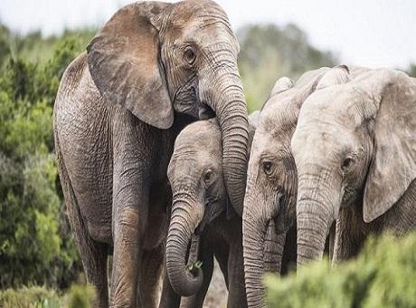 Mozambique: Elefantes que nacen sin colmillos para sobrevivir